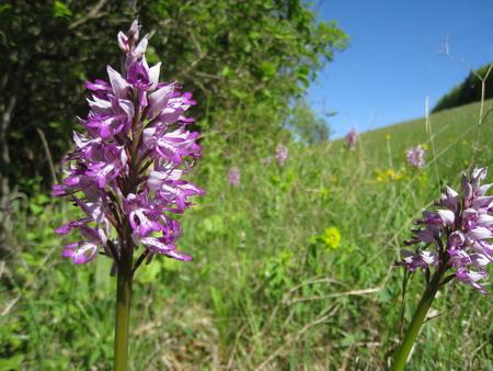 Helmknabenkraut (Orchidee)
