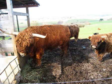 Highland Rinder bei Sonnenbühl-Undingen
