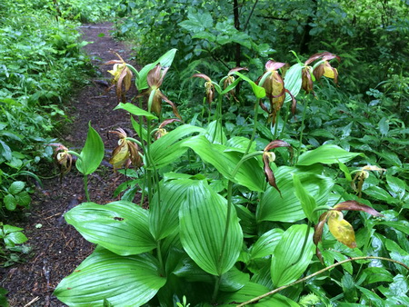 Orchidee Frauenschuh im Warmtal bei Langenenslingen